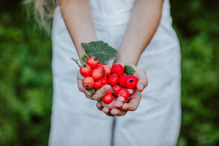 Girl's hands in white summer overalls holding red berries of hawthorn in the garden. Focus is at berries. 스톡 콘텐츠