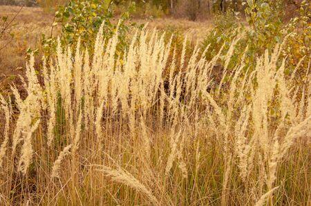 Tall yellow autumn grass on a field close-up