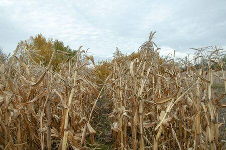 Dry corn in the field