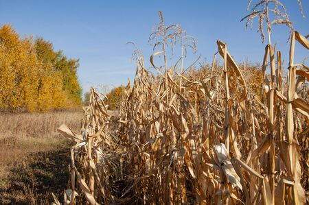 Dry corn against blue sky