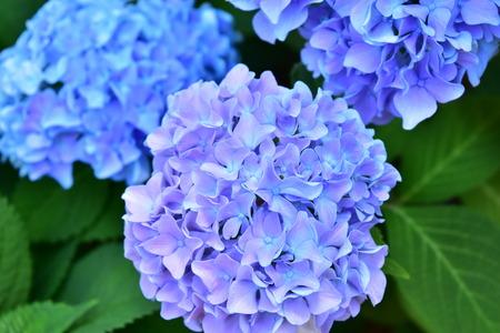 hydrangea flower: Bule Hydrangea Flower Stock Photo