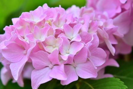 hydrangea flower: Hydrangea Flower