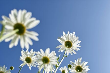Daisy flower under blue sky Stock Photo