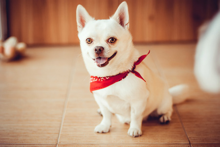 Chihuahua sitting on the floor in a red bandana photo