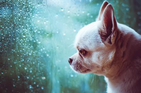 mojado: Chihuahua perro triste observa la ventana