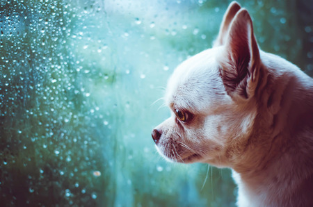 wet: sad Chihuahua dog looks at the window