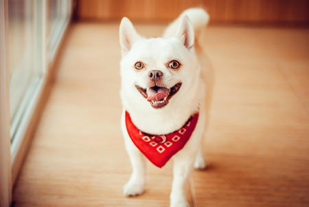 red bandana: Chihuahua standing on the floor in a red bandana