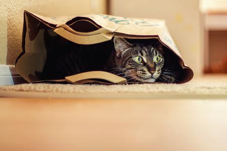 koty: mężczyzna pręgowany kot bawi się w papierowej torbie na podłodze