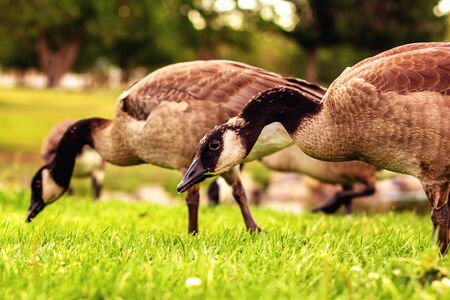 Canadian geese walking and eating the grass at the park
