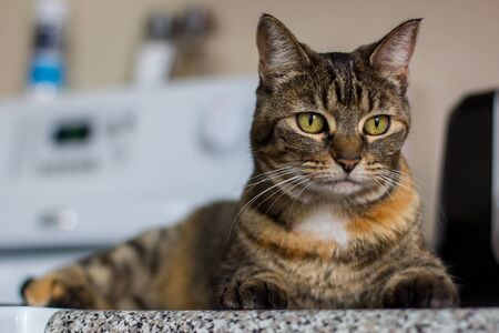 young female tabby cat laying on the counter in the kitchen
