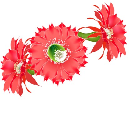 Three cactus flower on white background realistic close-up