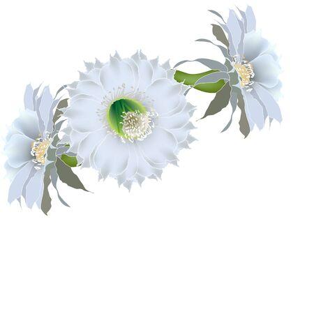 closeup: Drei Kaktusblume auf wei�em Hintergrund realistische Nahaufnahmen