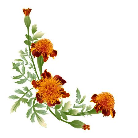 Marigold flower - tagetes.Bouquet Orange marigold.Tagetes erecta isolated on white background.Vector illustration.