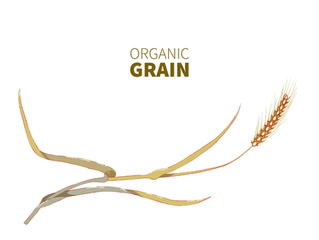 Hand drawn rye or wheat spikelet close up on white background.Wheat ear,organic grain. Illustration