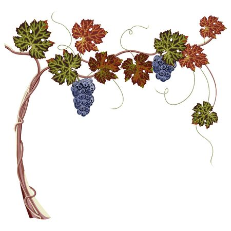 Colorful bunch of grapes and leaves close up, white background.