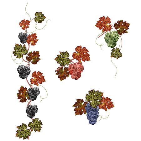 Colorful bunch of grapes and leaves close up, white background. Vector set of arrangements. 版權商用圖片 - 132120669