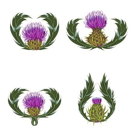Set of purple flowers, buds, spiny stems, green leaves on white background. Symbol of Scotland. Vector botanical illustration Çizim