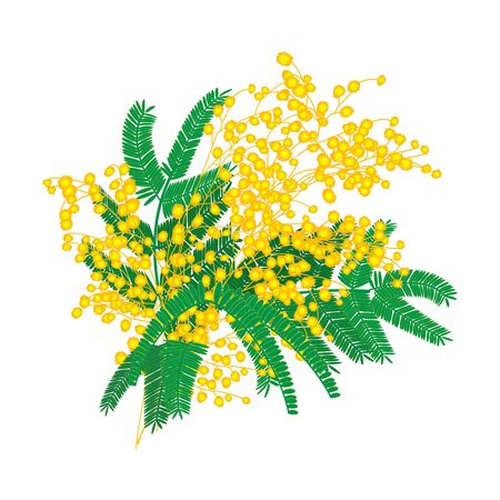 Mimosa flowers bunch isolated on white background. Vector Illustration