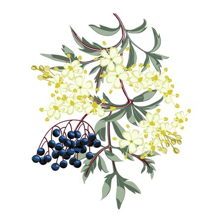 Black elderberry branch with berries and leaves. Elder flower blossom.