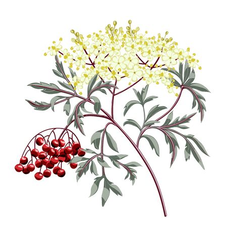 Red elderberry branch with berries and leaves. Elder flower blossom.