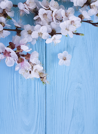branch of blossoming cherry, on a blue wooden background, spring