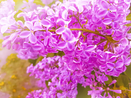 beautiful branch lilac background