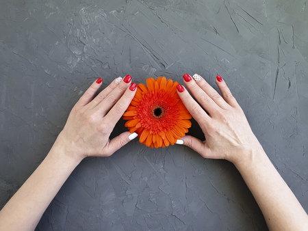 female hands, red manicure, gerbera flower on a gray concrete