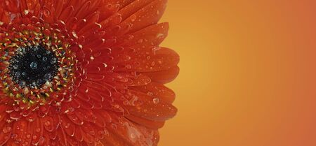 red gerbera flower wet closeup background color 写真素材