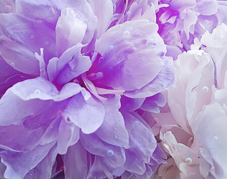 beautiful peony flower close-up