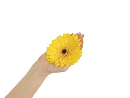 female hand manicure gerbera flower isolated Zdjęcie Seryjne - 129255620