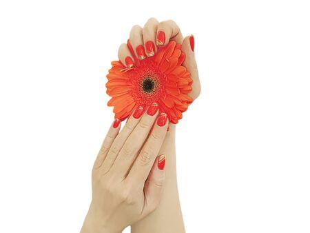 female hand manicure gerbera flower isolated
