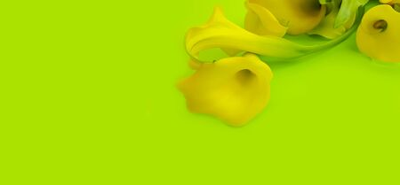 calla flower on a colored background