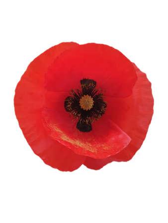 red poppy flower isolated on white background Zdjęcie Seryjne - 151769243