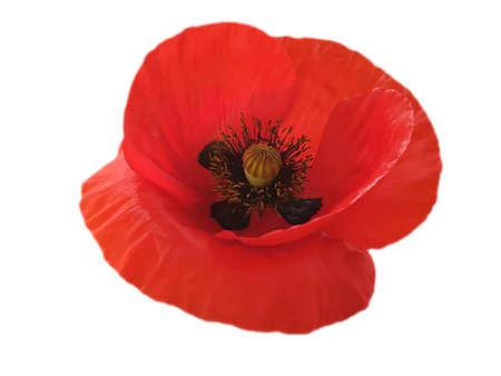 red poppy flower isolated on white background Zdjęcie Seryjne - 151778539