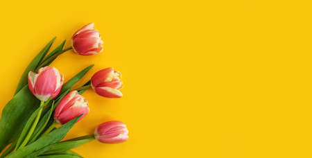 tulip flower on colored background blossom spring
