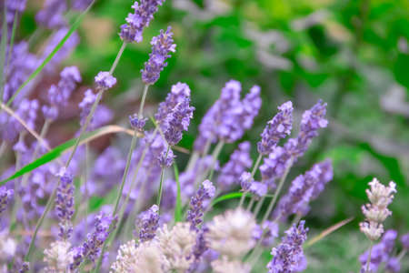 beautiful lavender flower close-up background