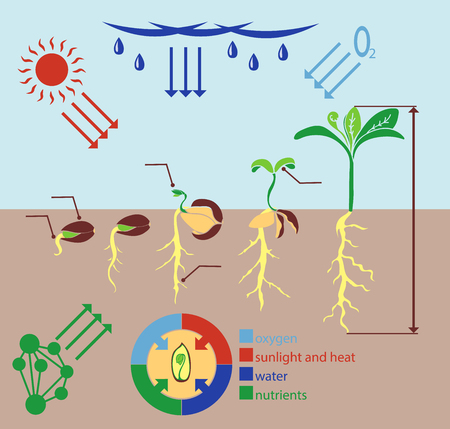 plant growth: Infographics stages of plant growth, growing plants from corn.