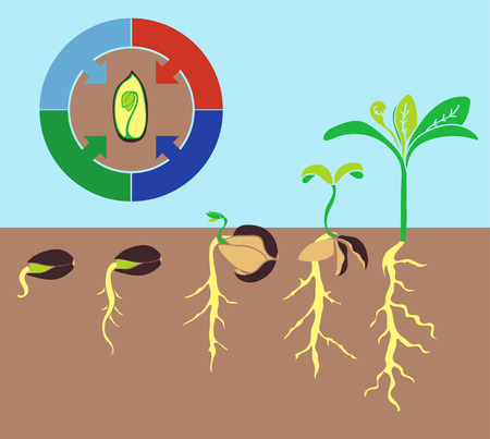 germination: Infographics stages of plant growth, growing plants from corn.