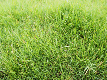 Green grass background. Meadow in summer.