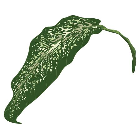 One Dumb cane leaf isolated on white background. Dumb Cane. Ilustrace