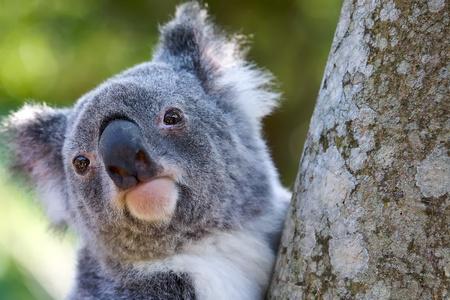 koala: Koala cerca disparo en la cabeza Foto de archivo