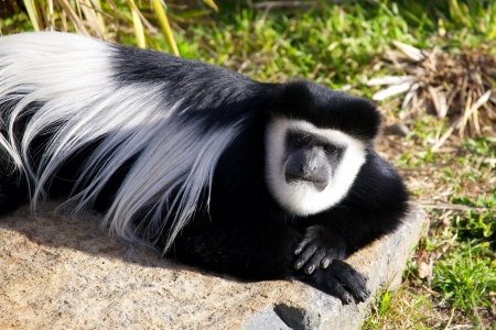 Colobus Monkey laying on rock looking at camera
