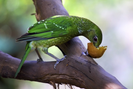 Green catbird perched in a tree branch eating fruit  Port Douglas, North Queensland Australia  photo