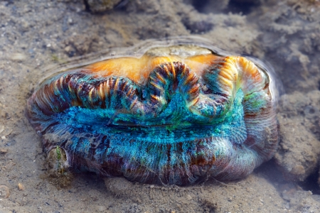 Young clam  Colorful coral and sea life sitting on mud flats out of the water