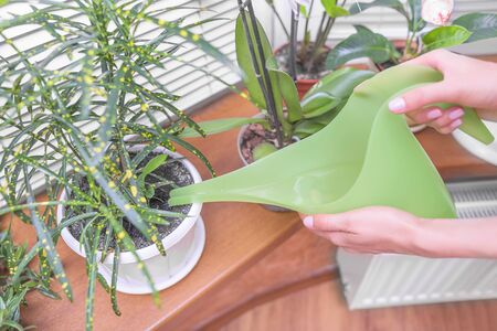 watered: Watered houseplants using a watering can. Close-up.