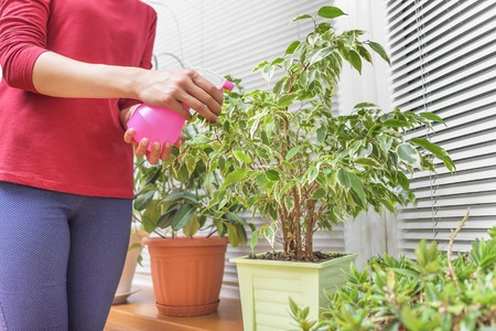 Hand with a spray gun irrigates houseplants.
