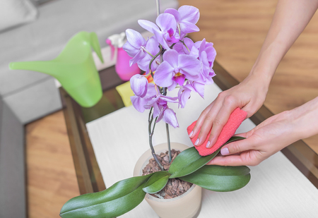 Female hand wipe the dust from the leaves of the orchid flower. Stock Photo
