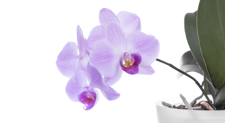 Orchid in flowering period on a white background.