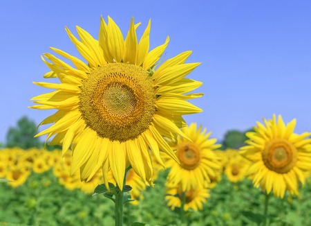 Field of sunflowers on a sunny summer day. Stock Photo