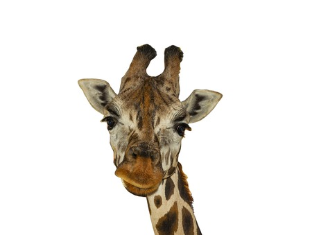 Giraffes head on a white background.